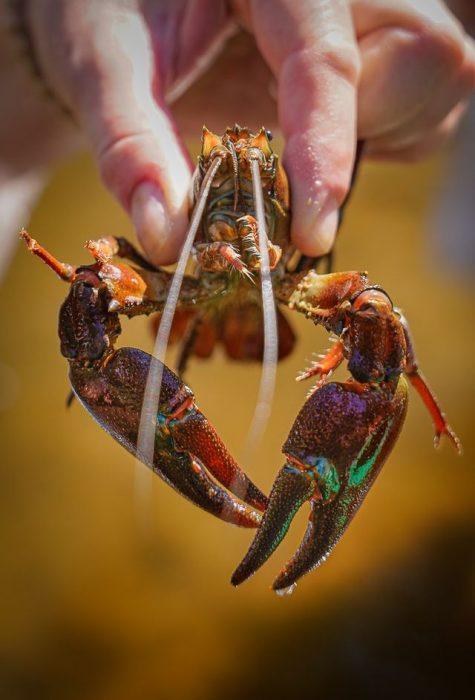 Pêche à l'écrevisse au Malzieu ©Jean-Sébastien Caron
